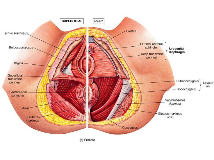 vaginal muscles